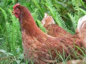 hens-in-ferns